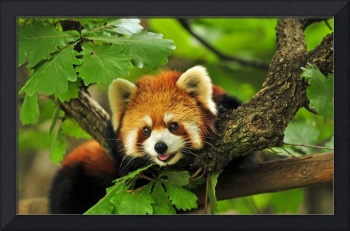 Smiling Cute Red Panda Cub Peeks Out From A Tree