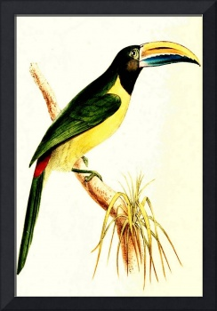 Green Aracari - PD Image