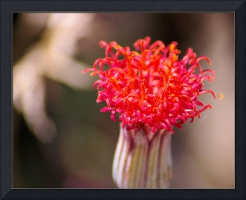 cactus flower bud in reds and oranges