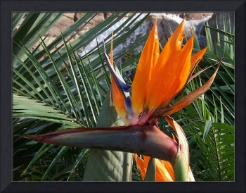 Bird of Paradise Flower Watercolour