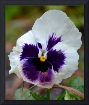 White Pansy with Purple Face