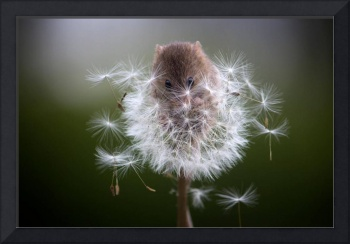 Mouse In A Dandelion Puff