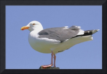 California Gull Photograph
