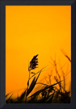 Sea Oat at Sunset