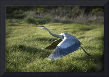 Great Blue Heron in Tennessee Valley