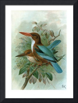 White-Throated Kingfisher (1897)
