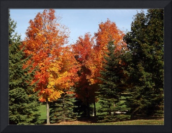 Maples in Pine Grove