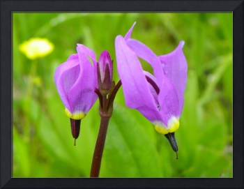 Botanical - Shooting Star - Outdoors Floral
