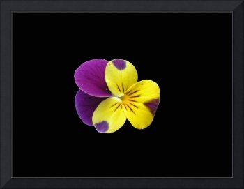 Purple and Yellow Pansy on Black