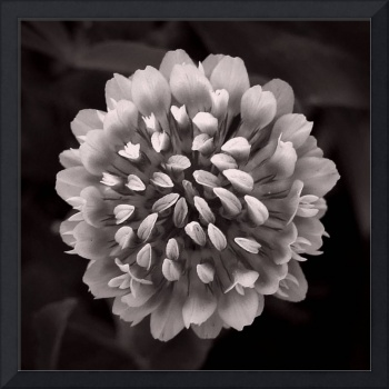 Red Clover In Black And White Vlll