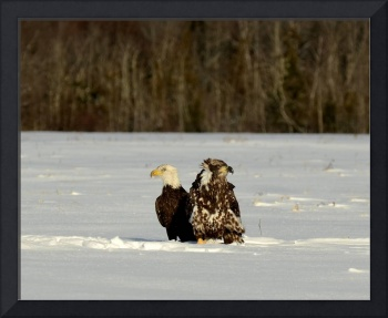 2 immature Bald Eagles