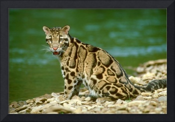 Endangered Clouded Leopard Making Eye Contact