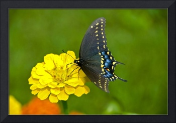 Black Swallowtail Butterfly--Don Rosso