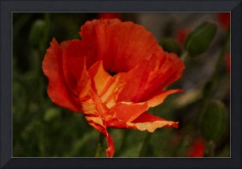 The Red Poppy 2