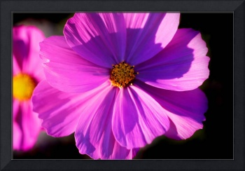 Pink Cosmos 2015