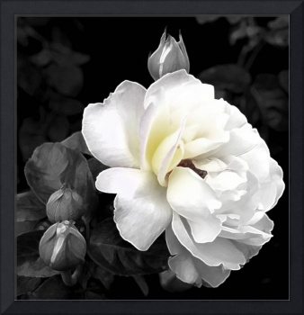 White Rose     0391 Grey Edit