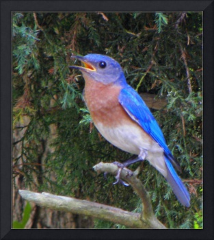 Male Bluebird Watching Out Over His Domain