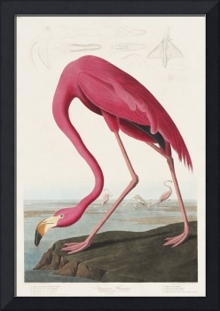Pink Flamingo from Birds of America