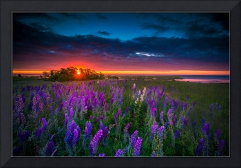 Field Of Lupines Flowers At Sunrise