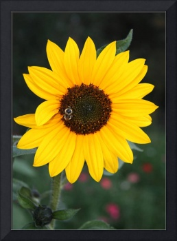 Yellow Sunflower with Bee 5627