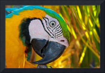 Blue and Gold Macaw - Isle De Margarita