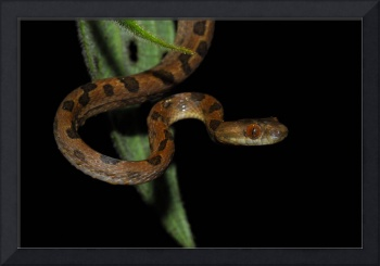 Costa Rica Cat Eye Viper