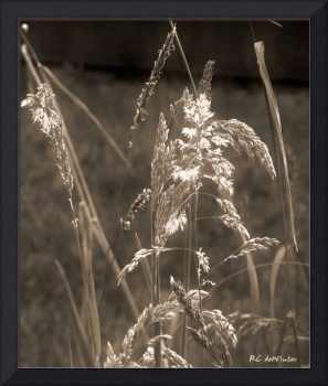 Meadow Grass in Sepia