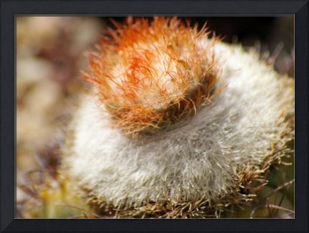 cactus white spines and red spiny top