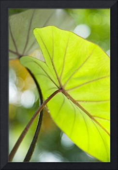 Hawaii, Oahu, Close-Up Of Taro Leaf