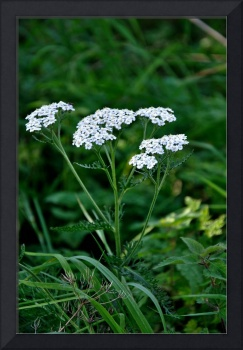 Yarrow Flower Heads  (20247-RDA)