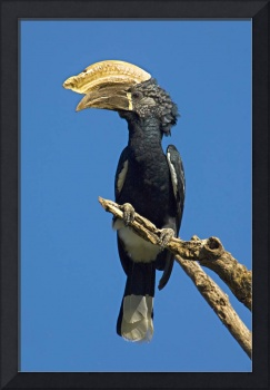 Low angle view of a Silvery-cheeked hornbill perc