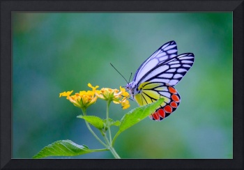 Indian Common Jezebel Butterfly