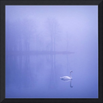 Mute Swan in Winter