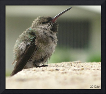 Tiny Cold Hummingbird