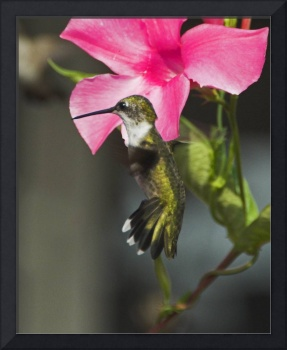 Hummingbird against a Mandevilla