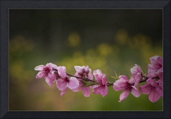 Peach Blossoms II