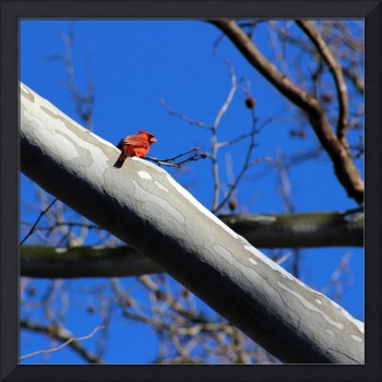 Cardinal on Sycamore 2016 Square