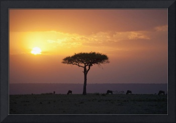 Acacia Trees At Sunset, Mara River, Maasai Mara, K