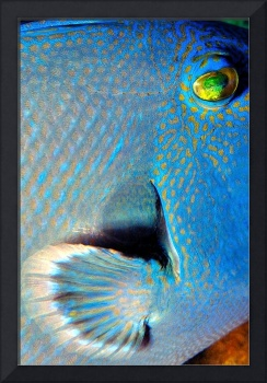 Blue Triggerfish (