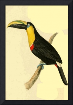 Doubtful Toucan - PD Image