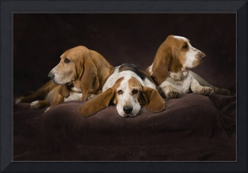 Three Basset Hounds On Brown Muslin Backdrop