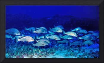 Shoal of Corvinidae in The Deep