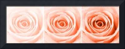 Orange Rose with Water Droplets Triptych
