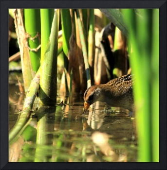 Stalking the Elusive Yellow Rail or maybe a Sora