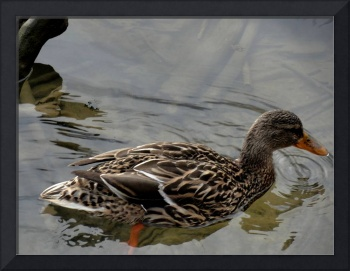 Medium photo female mallard duck shallow wDSC02069
