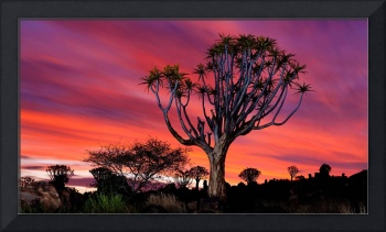 The Quiver Tree Forest, Namibia, Africa