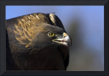 Golden Eagle with blood by Jim Crotty