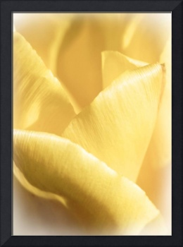 Soft Yellow Tulip Abstract