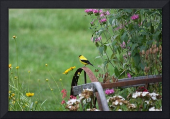 Yellow Finch Resting in the Garden