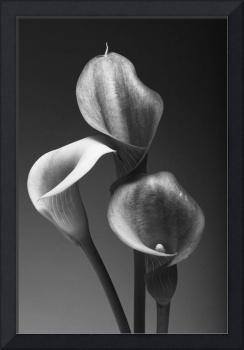 Three Pink Calla Lilies in Black and White